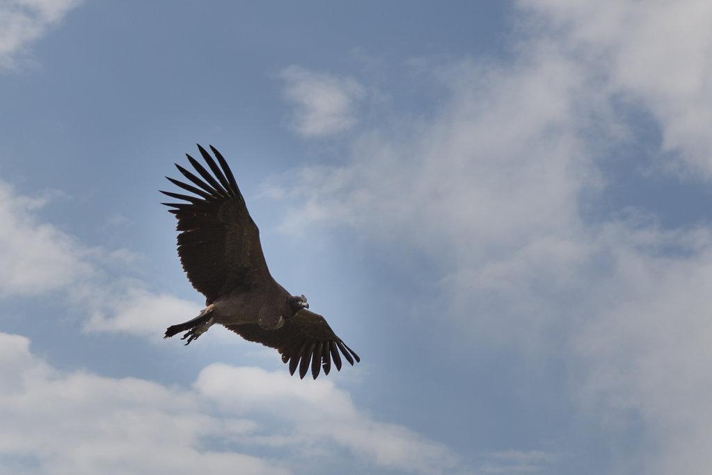 El baby Condor